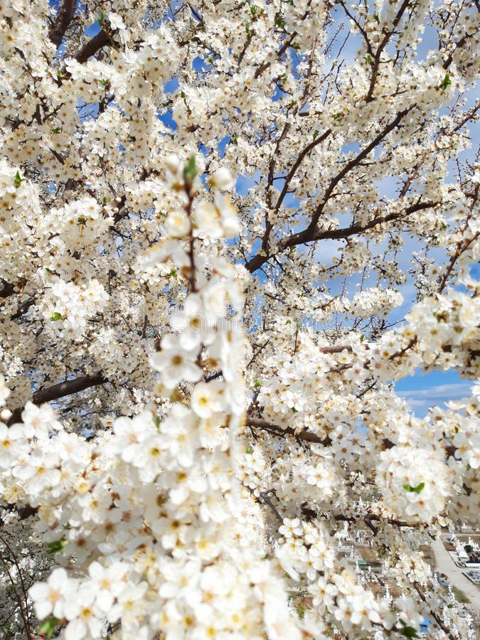 Trädfilialer med vita blom i vårtid fotografering för bildbyråer