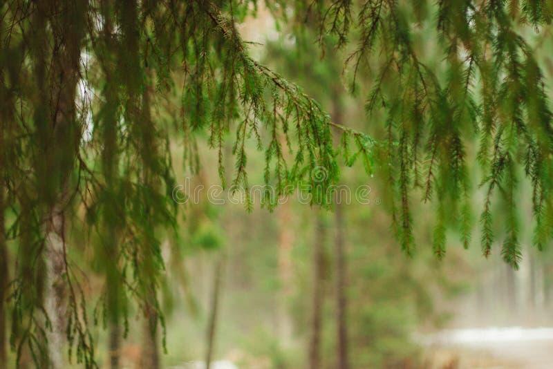Trädfilialer som hänger över dimman, filialer av granen arkivfoto