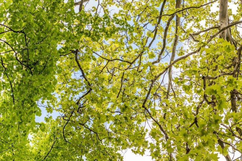 Trädfilialer som ser upp med gräsplansidor och blå himmel arkivfoto