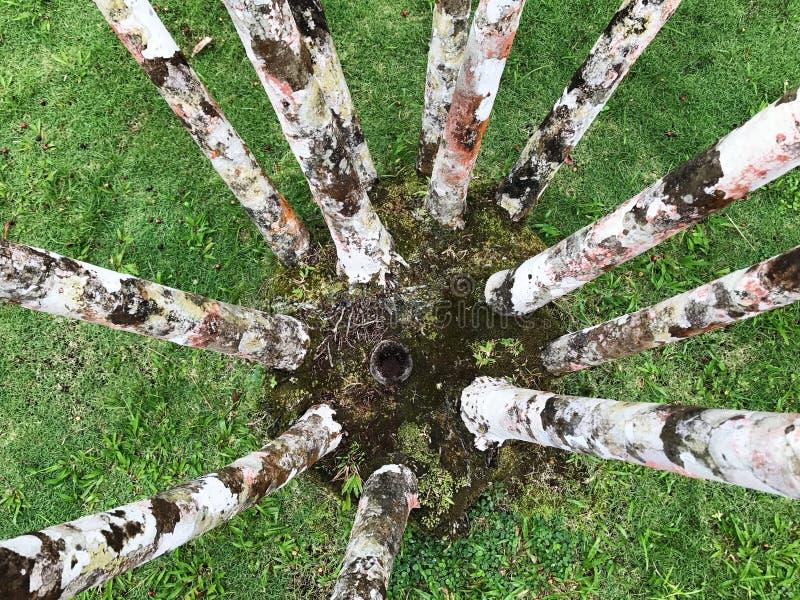 Trädfot på de Balatala trädgårdarna i Martinique royaltyfria foton