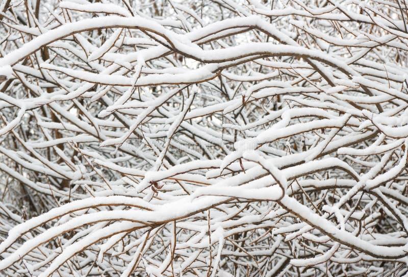 Trädfruncher som täckas i snö. arkivbilder