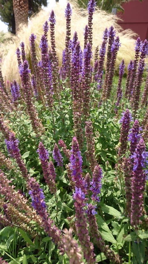 Trädgård av den ljusa purpurfärgade gruppen av blommor fotografering för bildbyråer