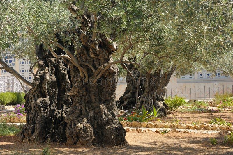 Trädgård av Gethsemane arkivbilder