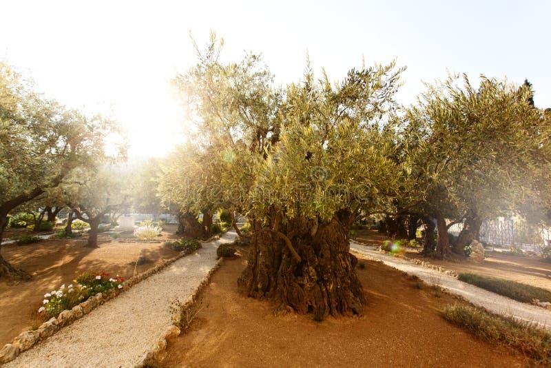 Trädgård av Gethsemane, berömt historiskt ställe royaltyfri fotografi