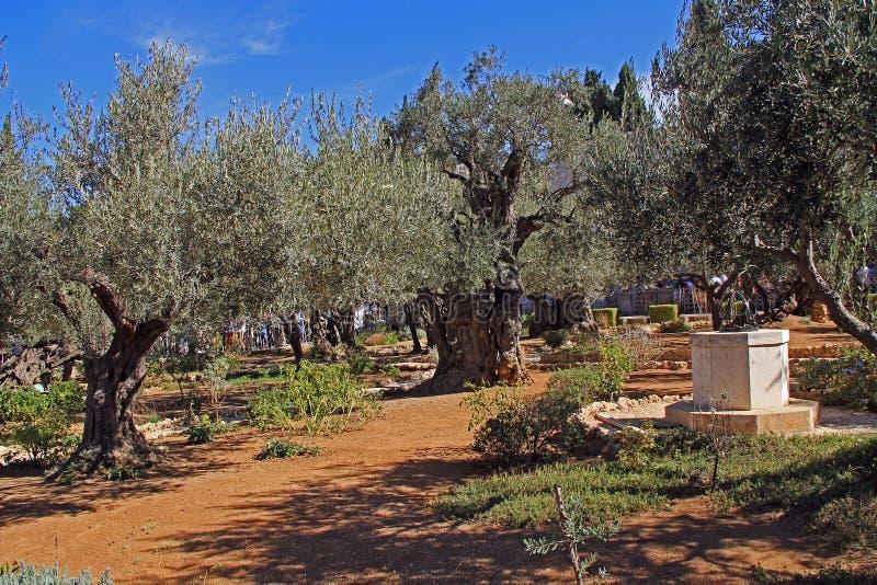 Trädgård av Gethsemane i Israel arkivfoton
