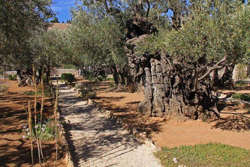 Trädgård av Gethsemane i Israel royaltyfri bild