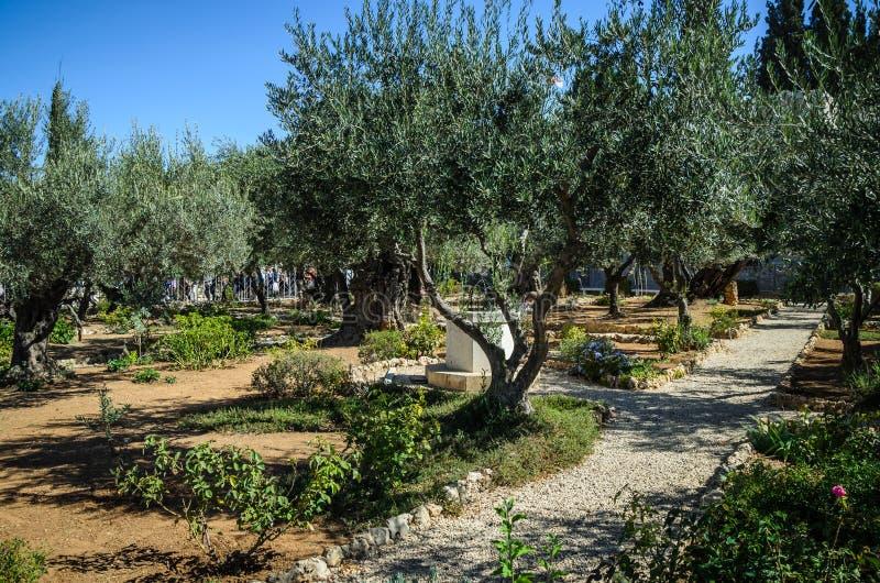 Trädgård av Gethsemane, Mount of Olives arkivbilder