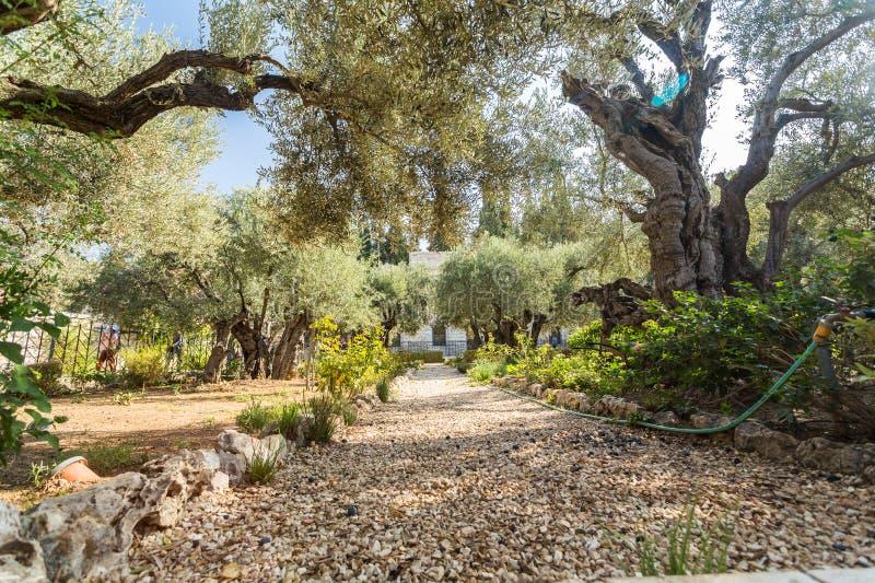 Trädgård av Gethsemane, Mount of Olives, Jerusalem royaltyfri bild
