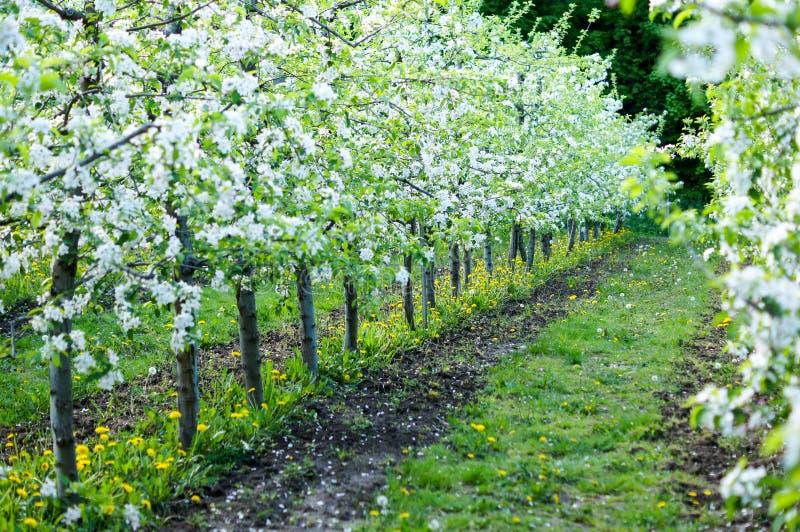 Trädgård av planterade äppleträd på en härlig dag god skörd royaltyfria bilder