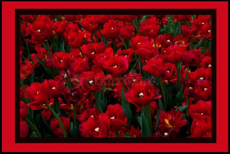 Trädgård av tulpan royaltyfria bilder