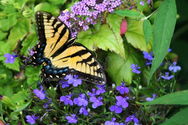 Trädgård för blomma för kvinnligTiger Swallowtail matningar in färgrik arkivbild