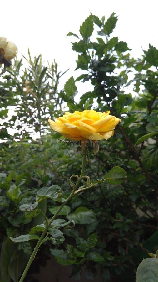 Trädgård för blommaNaturelover rosor royaltyfri foto