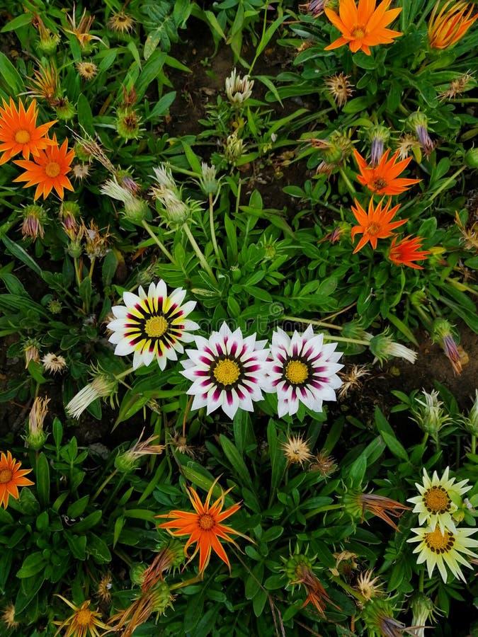 Trädgård för blommor för blomma för Gazaniaträdgårdblomma härlig arkivfoton