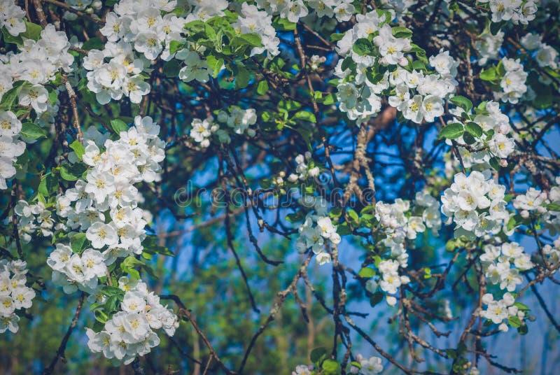 Trädgård för blomningäppleträd arkivbild