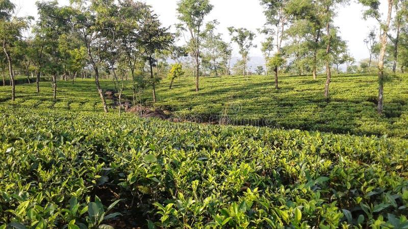 Trädgård för grönt te och några träd royaltyfri bild