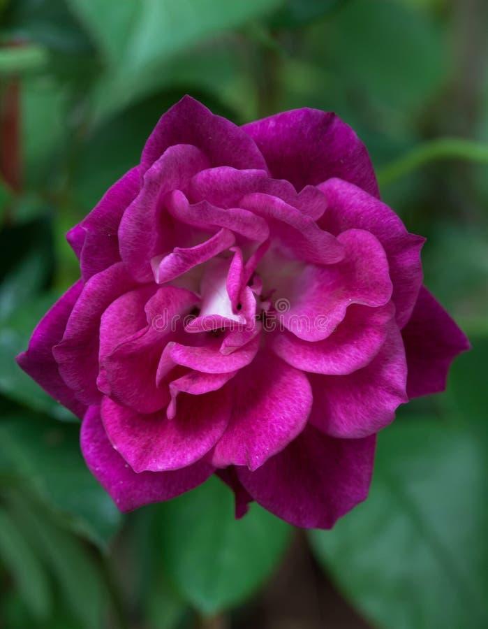 Trädgård för härlig för natur för rosa färgros ny valentin för blomning arkivfoton