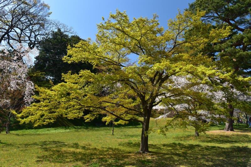 Trädgård för körsbärsröd blomning för vår för träd för röd lönn royaltyfria foton
