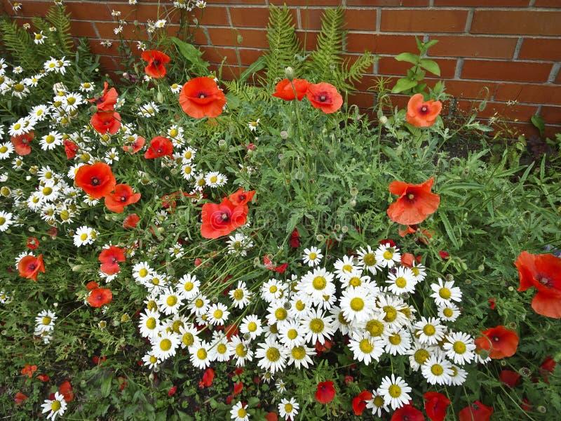 Trädgård för ljusa röda vallmo och för vita tusenskönor framtill arkivfoton