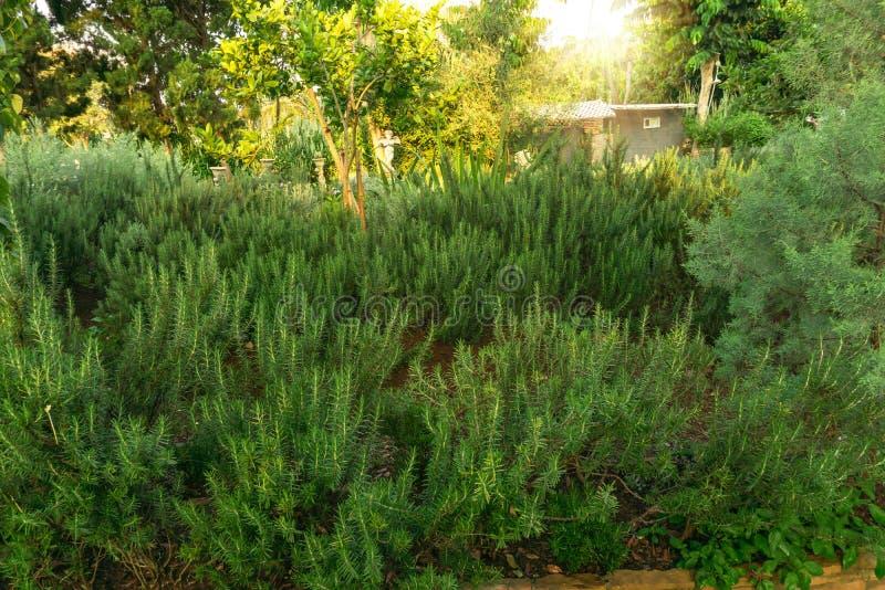 Trädgård för på engelska trädgård för stuga för rosmarinörter ätlig plantera, grönskaträd på bakgrund under solskenm arkivbild