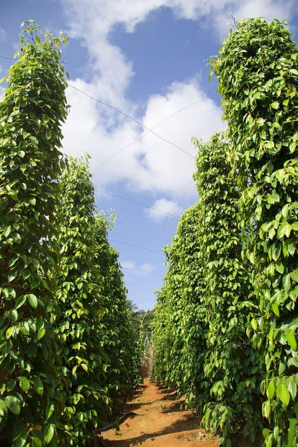 Trädgård för pepparträd i solljuset på Phu Quo royaltyfri fotografi