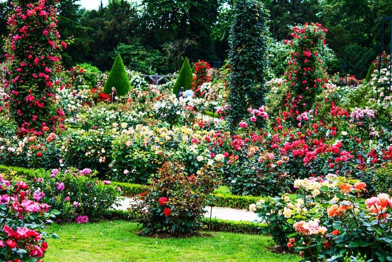 Trädgård för ros för Paris Bois de Boulogneklassiker i Roseraien de Bagatelle royaltyfria foton
