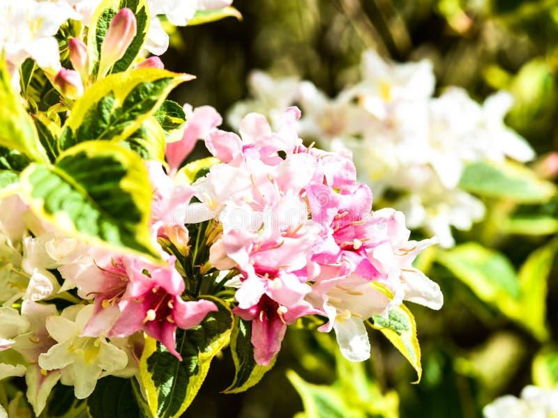 Trädgård för rosa och vita blommor royaltyfri fotografi