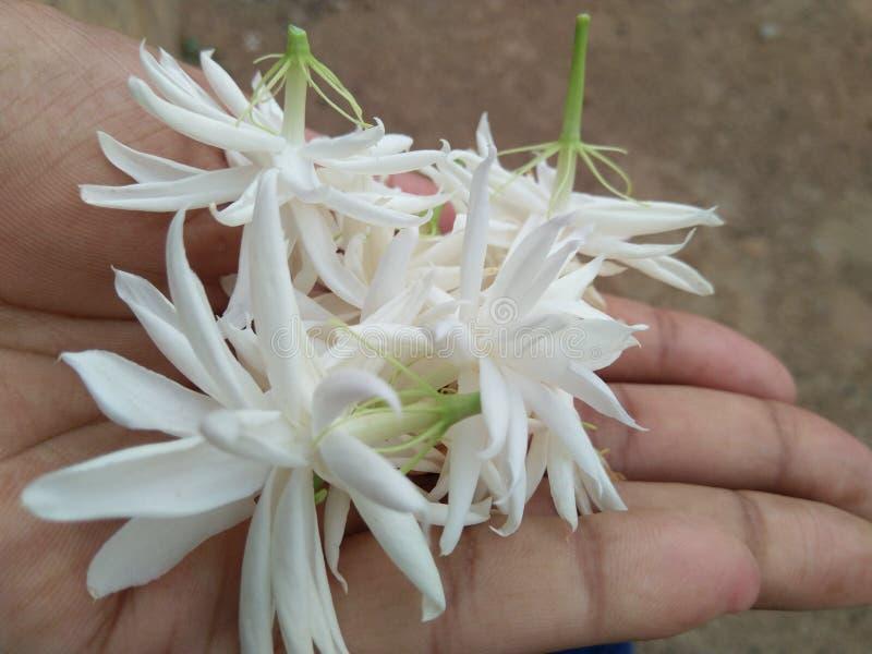 trädgård för vita blommor för mogra med naturen arkivfoto