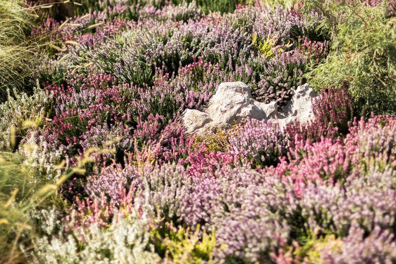 Trädgård med blomningljung, närbild royaltyfri fotografi