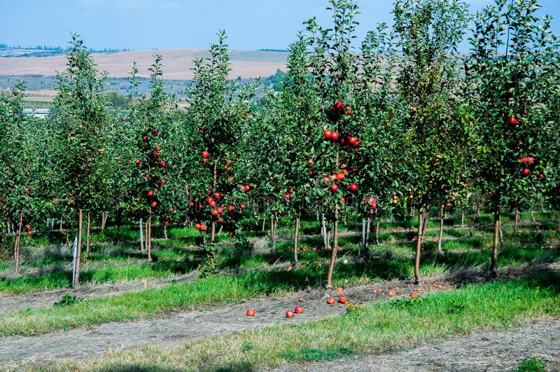 Trädgård med gröna äppleträd R?da ?pplen h?nger p? filialerna arkivbild
