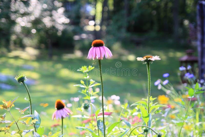 Trädgård med rosa och purpurfärgade Coneflowers fotografering för bildbyråer