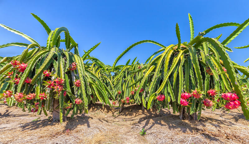 Trädgård mycket av den frukt laden draken royaltyfri fotografi