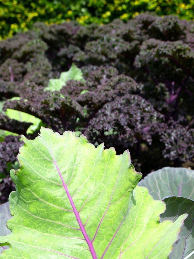 Trädgård: sunlit kål- och kaleleaves arkivbild