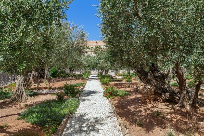 Trädgårdar av Gethsemane i Jerusalem arkivbild