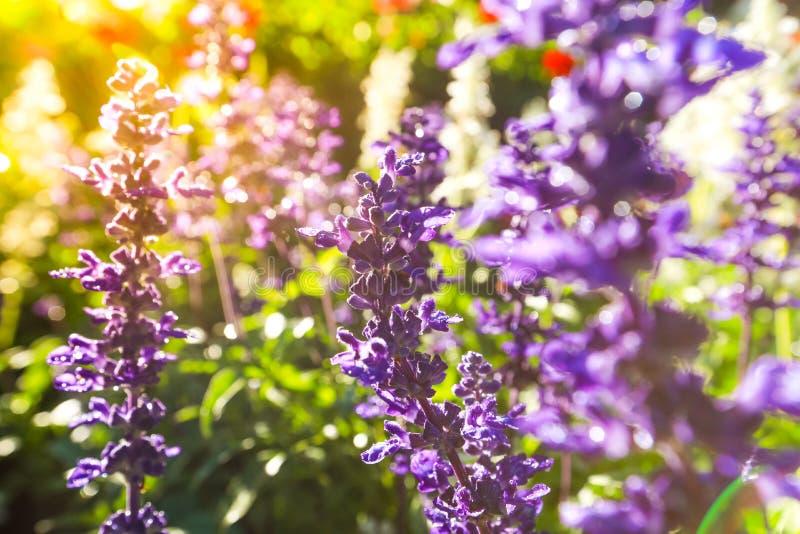 Trädgårdar med blommandevioletlavendeln royaltyfria bilder