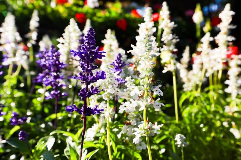 Trädgårdar med blommandevioletlavendeln arkivfoto