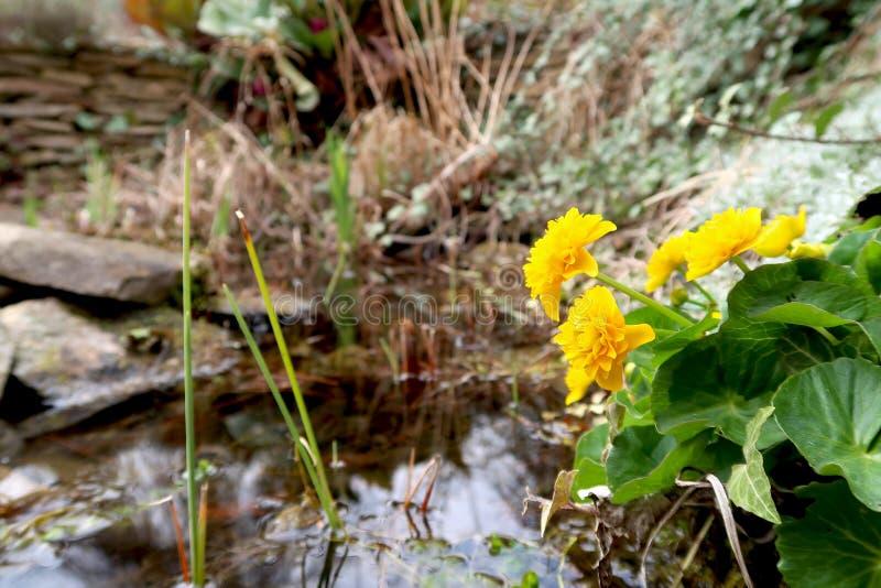 Trädgårddamm i vår Blomma Marsh Marigold Caltha palustris i foregrouden och det suddiga dammet i bakgrunden arkivfoto