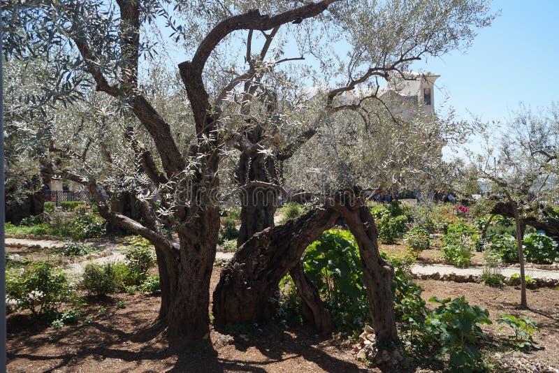 Trädgården av Gethsemane royaltyfria bilder