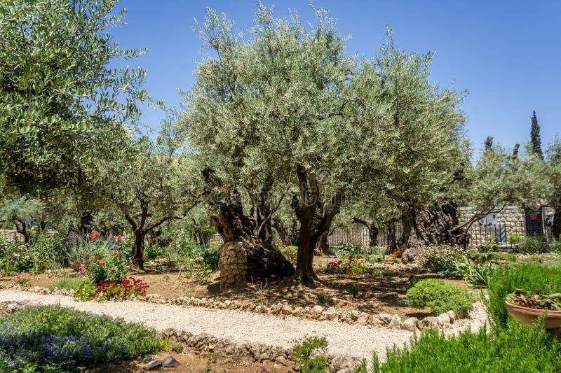 Trädgården av Gethsemane i Jerusalem, Israel royaltyfria bilder