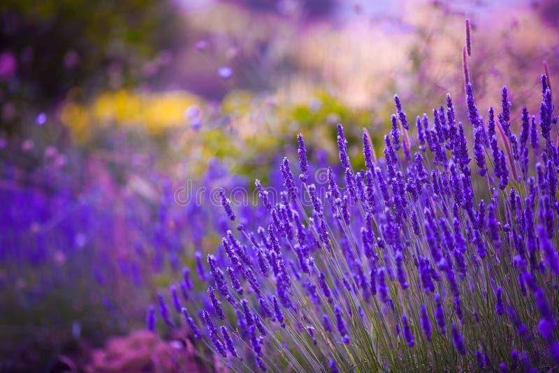 Trädgården blommar Lavendar färgrik bakgrund arkivfoto