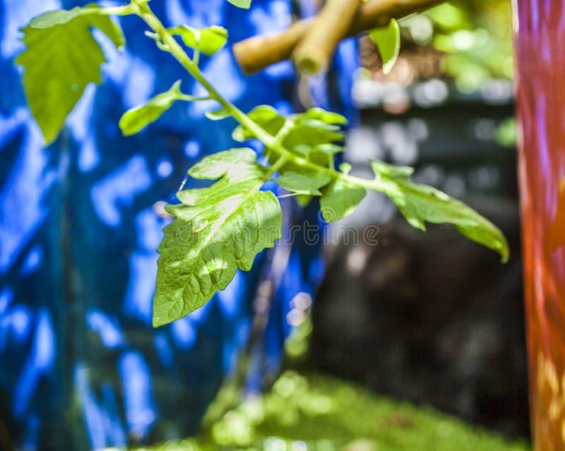 Trädgården - en closeup för tomatväxt royaltyfri bild