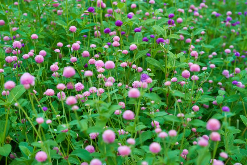 Trädgården för blommor för jordklotamaranthen i rosa färger och lilor färgar, selektivt royaltyfri foto