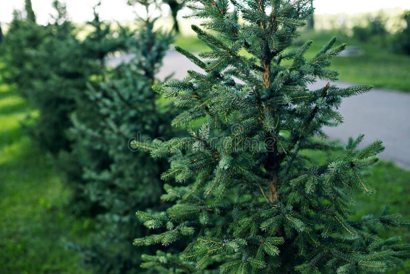 Trädgården med litet sörjer träd Härlig vårträdgårddesign, med barrträdträd, grönt gräs och den eneving solen royaltyfri bild