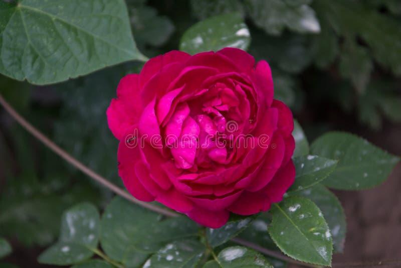 trädgården steg blommor och arbeta i trädgården vegetation fotografering för bildbyråer