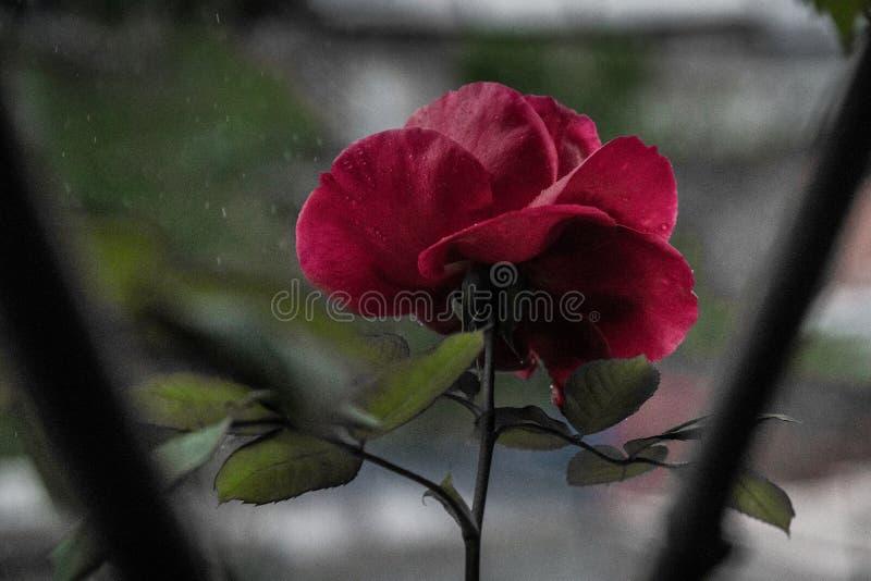 Trädgården steg, första som poped ut regnig dag, naturlig skönhet, röd färg och så härliga kronblad och gröna sidor med dro royaltyfri foto