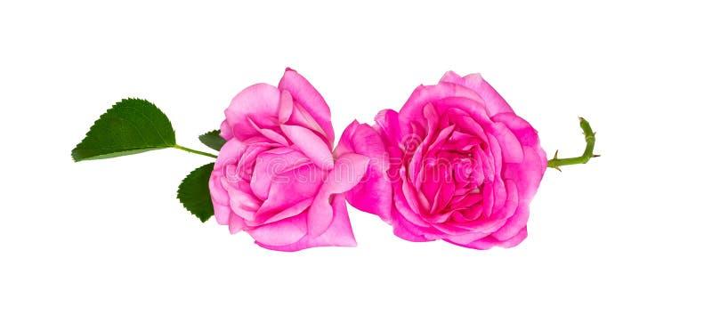 trädgården steg Rosa färgknopp på vit bakgrund arkivbilder