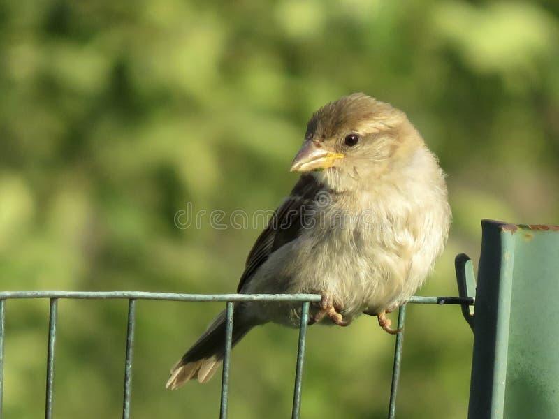Trädgårdfågel på ett trådstaket arkivfoton