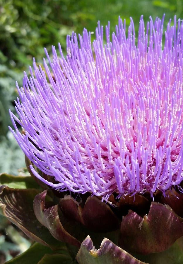 Trädgårdkronärtskockor royaltyfri fotografi