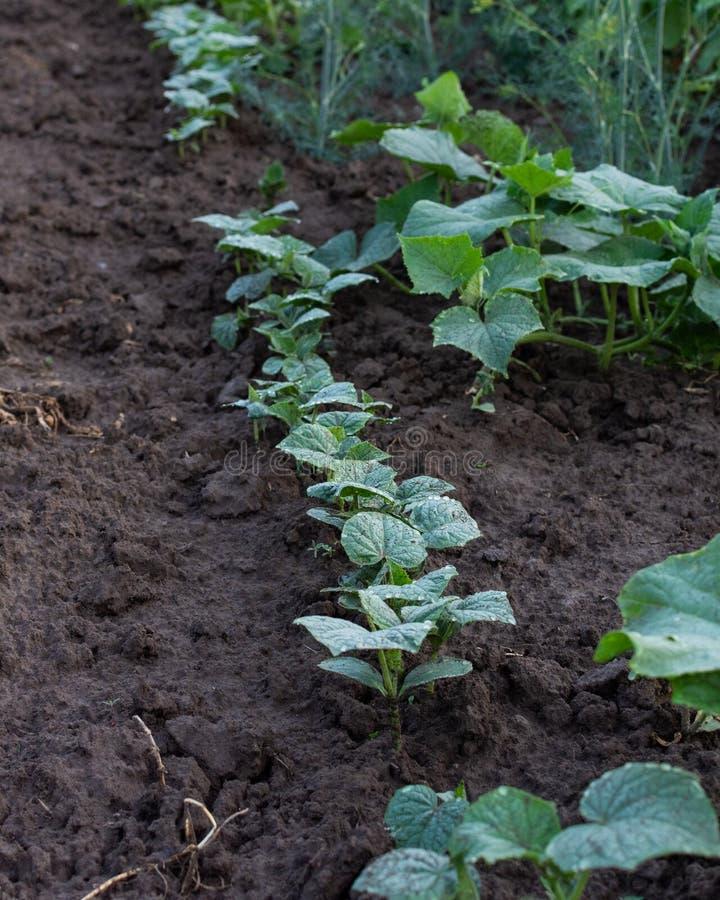 Trädgårdsängar med unga gröna gurkasidor royaltyfria foton