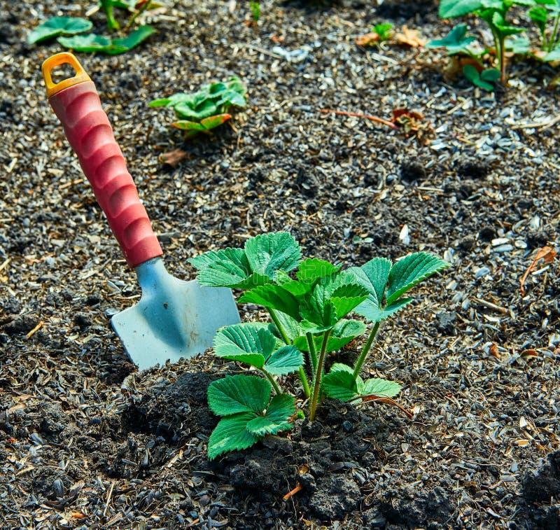 trädgårds- arbete Plantera för jordgubbe royaltyfri fotografi