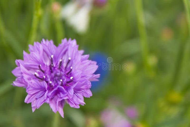 Trädgårds- blåklint arkivbild